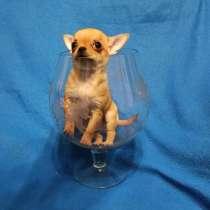 Миниатюрный чихуа. Купить щенка можно в питомнике хрустальна, в Москве