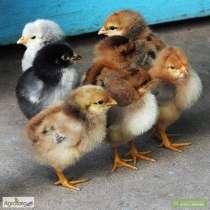 Суточные цыплята, в г.Рубежное