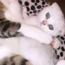 Котёнок шотландская вислоухая шиншилла, в г.Витебск