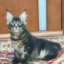 Продам котят породы Мейн-Кун, в Екатеринбурге