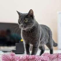 Молодая домашняя кошечка Сабрина, метис Русской Голубой, в Москве