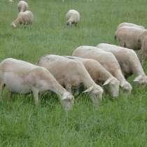 Племенные овцы Лакон (Скот из Европы класса Элита), в г.Ереван