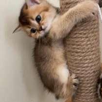 Bkh kitten (Британский короткошёрстный котята), в г.Санкт-Вендель