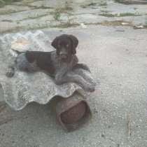 Продам щенков Дратхаара, в Белогорске