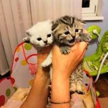 Шотландские котята, в Калининграде