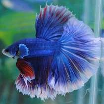 Рыбка петушок в аквариуме, в Москве