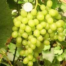 Саженцы винограда ранних сортов, фундука, чёрной малины и др, в Екатеринбурге