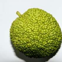 Продается Адамово яблоко, Маклюра., в Москве
