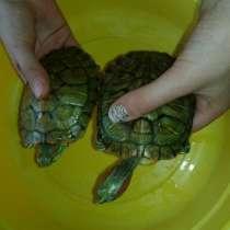 Красноухие черепахи, в г.Борисов