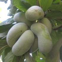 Азимина-банан для садов северных широт!, в г.Витебск