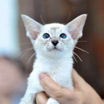 продажа сиамских котят, в Перми