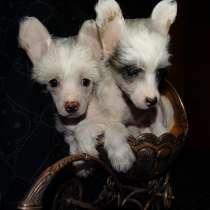 Китайская хохлатая собака, щенки, в Москве