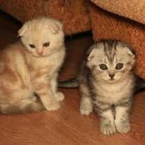 Шотландские котята, в Уфе