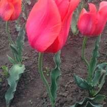 Луковицы тюльпанов, в Ростове-на-Дону