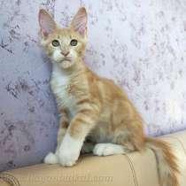Котенок Мейн-кун, в Улан-Удэ