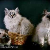 невские маскарадные котята, в Кемерове