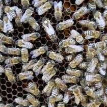 Пчеломатки Карпатской породы и Карника на 2016 год, в Самаре