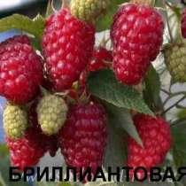 Малина лучших сортов, в Крымске