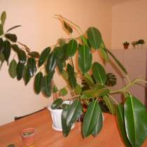 растение комнатное, в Томске