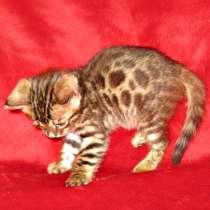 Продаю котят бенгалов недорого, в Ярославле