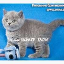 Голубые британские котята. Питомник, в Москве