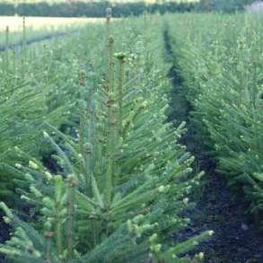 Доставка, посадка ЕЛЬ (Picea abies), СОСНА (Pínus sylvéstr, в Электростале