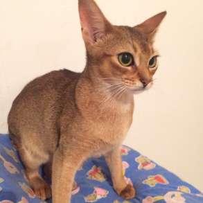 Абиссинские котята, в Уфе