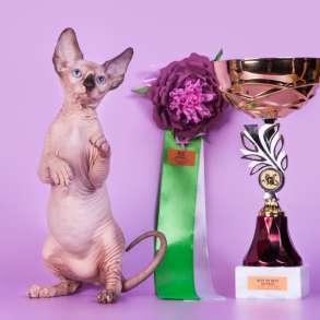 Гуманоид? Котёнок Эльф, бамбино, двэльф, сфинкс!, в Ярославле