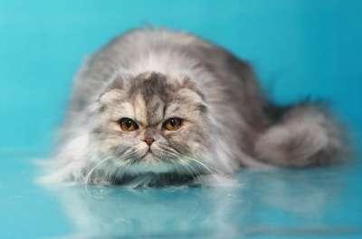 Кошечка - хайленд фолд