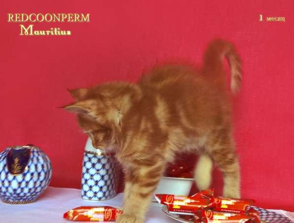 Котята мейн кун красные в Москве фото 14