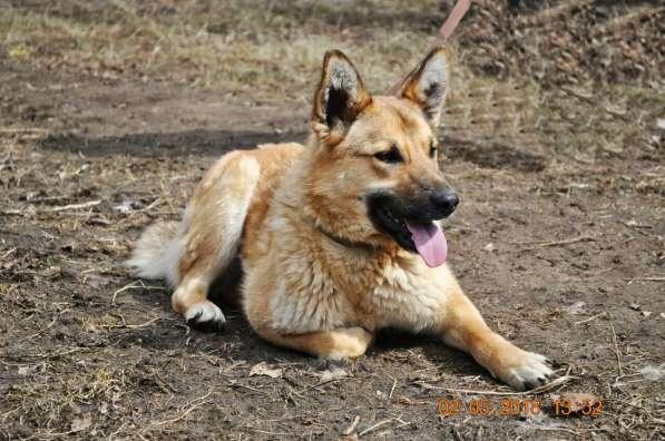 Отдам в добрые руки собаку, девочку в Чайковском фото 3