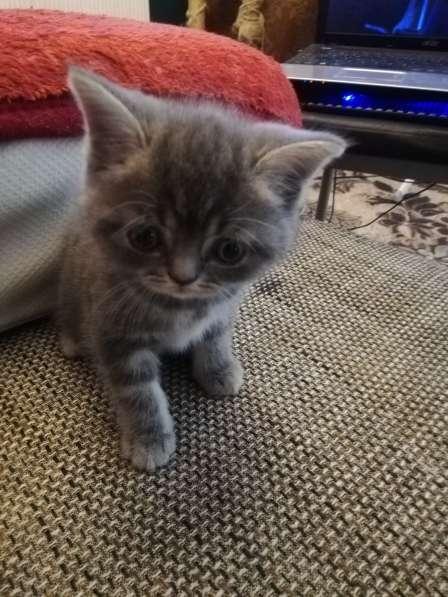 3 Britische Kätzchen auf der Suche nach einer Familie в фото 3