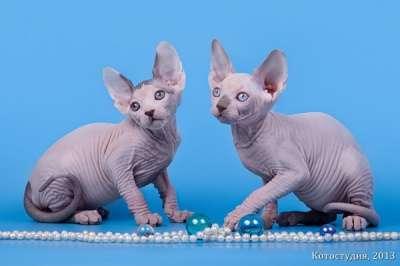 Эльфы, Двэльфы, бамбино или сфинксы - магические кошки в Екатеринбурге фото 4