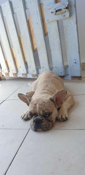 French Bulldog в