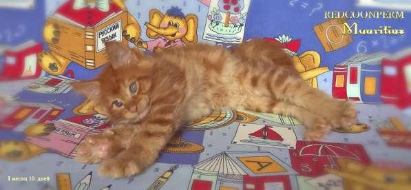 Котята мейн кун красные в Москве фото 16