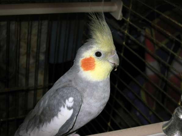 Отдам попугая