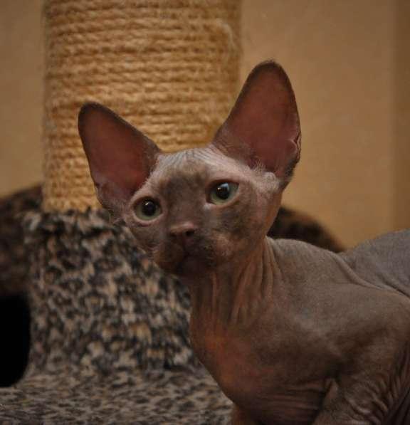 Котята Девон Рекс в редких окрасах: шоколад, корица, лиловый