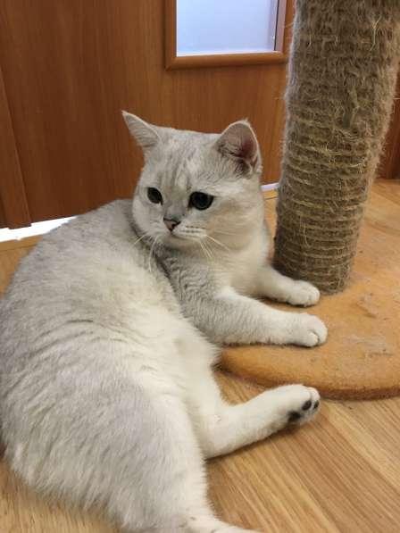 Шотландские котята серебристые шиншиллы в Екатеринбурге