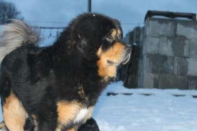 Тибетский Мастиф - щенок