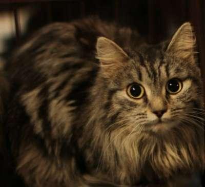 Отдам даром Кошка Тася, 1 год