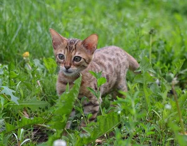 Бенгальсике котята в Нижнем Новгороде фото 6