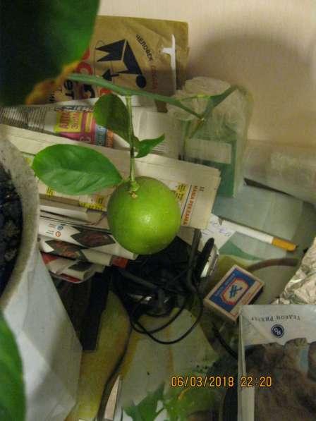 Лимоны плодоносящие в Екатеринбурге
