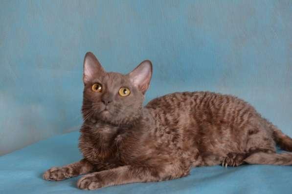 Уральский рекс кудрявый кот окрас голубой