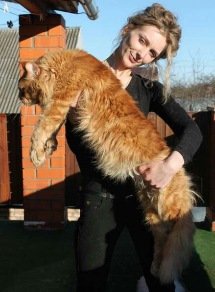 Питомник Lakshestar предлагает котенка мейн кун мальчика