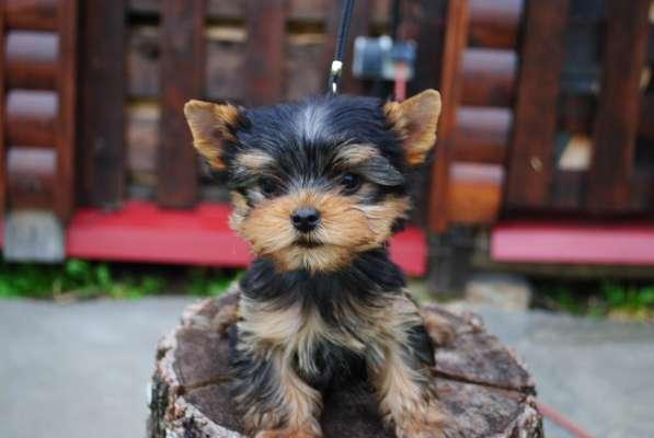 Продаются щенки йоркширского терьера в Москве фото 6