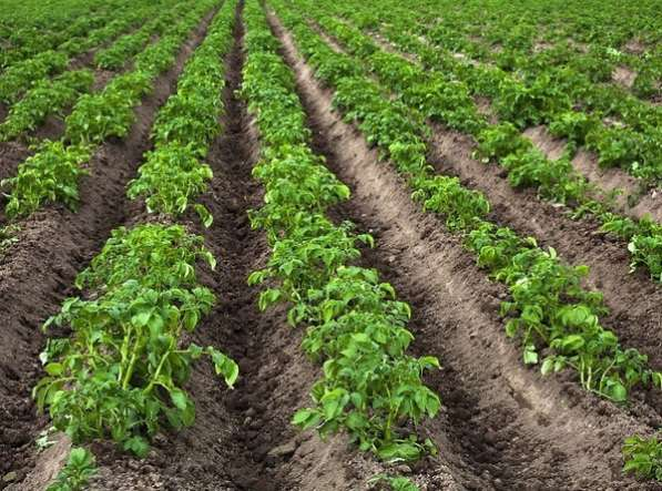В аренду 80 сот. земли, для выращ. овощей,корнеплодов,зелени