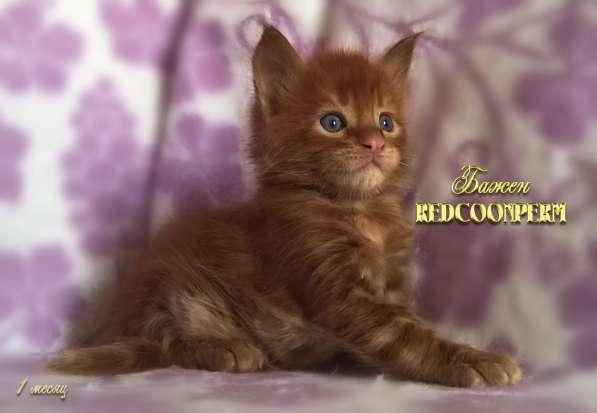 Котёнок менй кун красный солид. Шоу класс в Перми фото 18