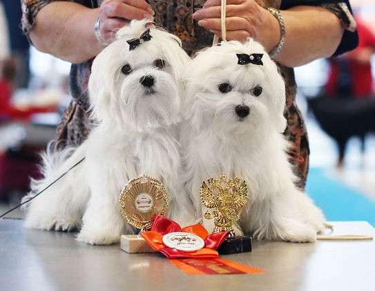 Мальтезе (мальтийской болонки) щенки от чемпионов