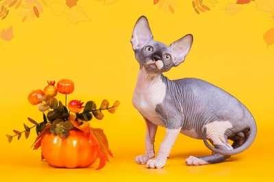 Эльф, бамбино, Канадский сфинкс, котята в Москве фото 3