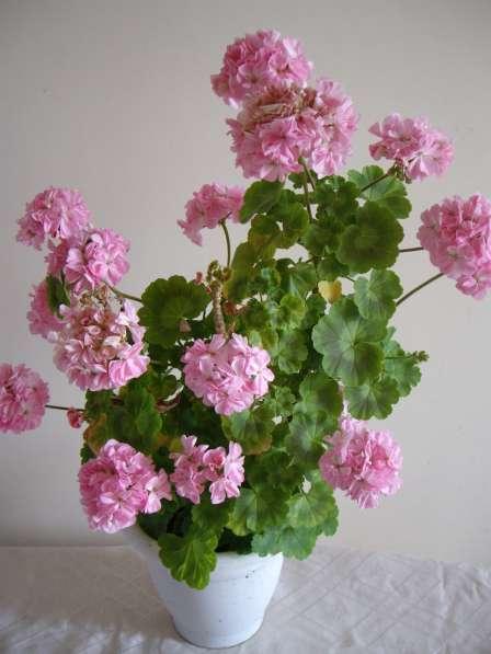 Герань розовая полумахровая, молодое растение